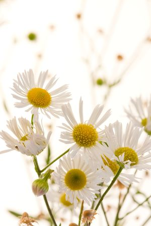 White chamomile on white background Stock Photo - 3601149