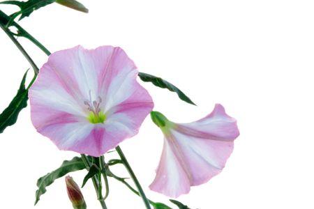 trailing: Bindweed flower