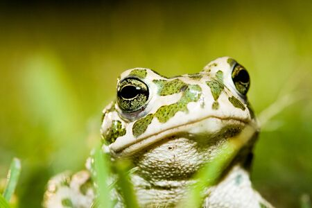 Green toad in grass  Stock Photo