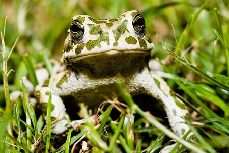 anuran: Green toad in grass  Stock Photo
