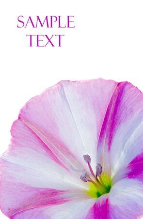 bindweed: Bindweed flower