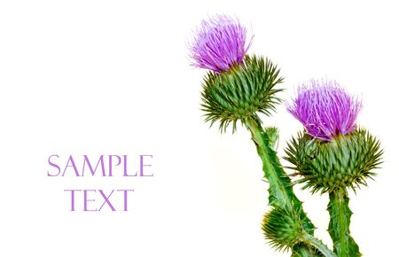 Thistle on white background