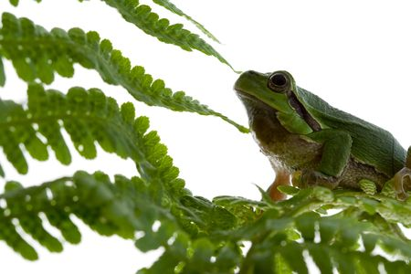 crawler: Tree frog  Stock Photo