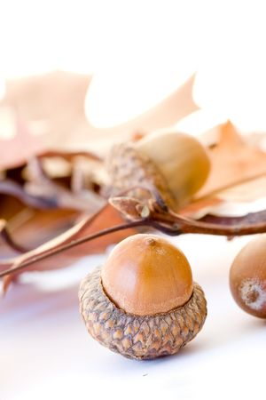 Autumn acorns isolated on white background Stock Photo