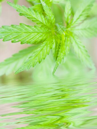 legalize: Hemp background