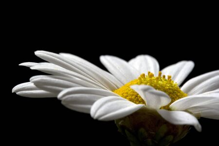 Daisy flower isolated on black background photo