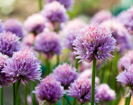 chive: Chive Purple flower  Stock Photo