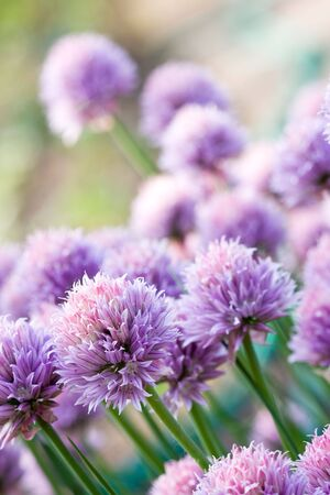 Chive Purple flower  Stock Photo