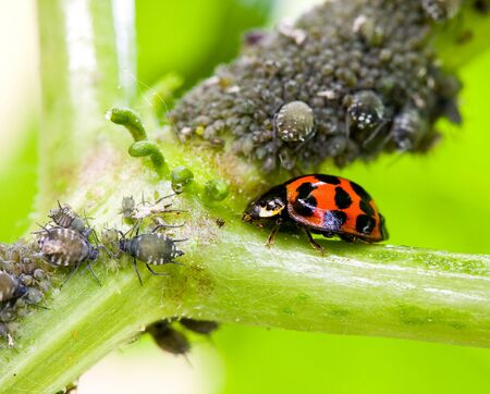 obliteration: Lady bug and plant louse