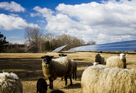 Solar panel and sheep
