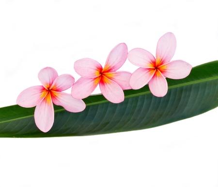pink plumeria on green leaf Stock Photo