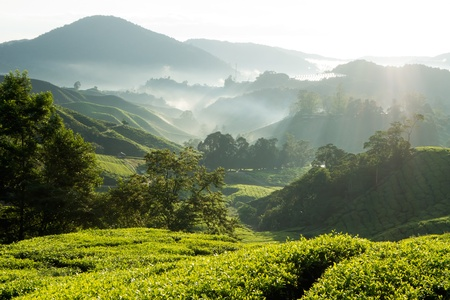 Misty morning at tea plantation farm photo