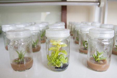 tissue culture: plant tissue culture orchid in thailand