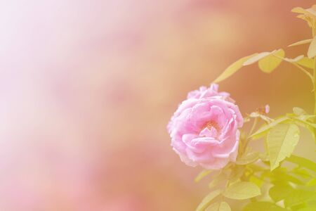 Pink rose with colourful rainbow Stock Photo