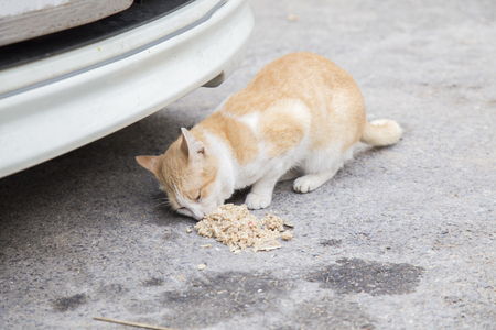 cat eating: Stray cat eating food near a car on the street .