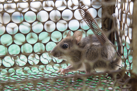 trapped: Rat trapped in the cage