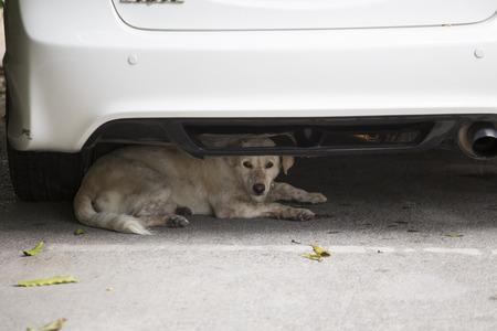 Stray dog under white car on road