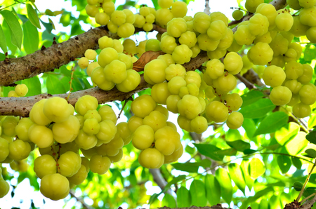 gooseberry: Star gooseberry on tree
