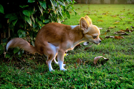 Chihuahua dog feces on the grass in the garden