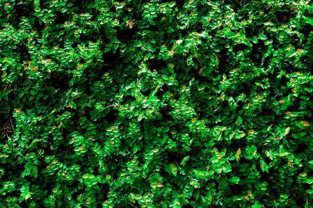 green wall Background of a Garden