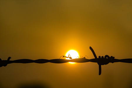 Climbing ant on the barbed wire Back ground sun