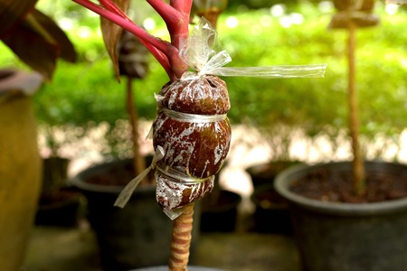 Close up air layering plant. Plant propagation Imagens