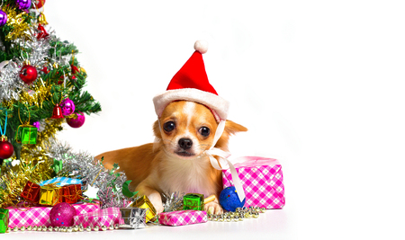 perros vestidos: Chihuahua Dog  in Christmas costume among gifts on white floor.