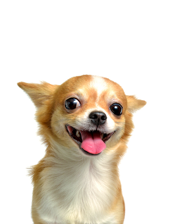 Chien Chihuahua, un mâle brun, souriant sur fond blanc Banque d'images