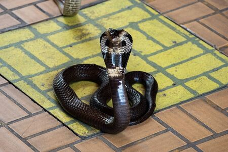 Black king cobra spreading hood on the tile floor