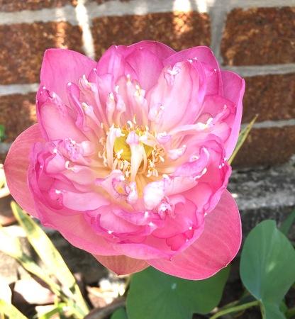 big: Big lotus