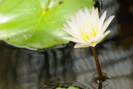 White Lotus in pond photo
