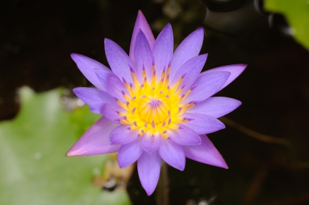 The Perfect Top view of Beautiful Purple Lotus in pond  Stock Photo
