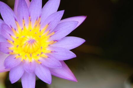 The Perfect Top view of Beautiful Purple Lotus in pond photo