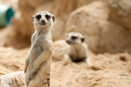 Meerkat position standing watchful guard photo