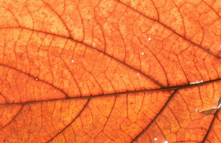 Transparent leaf texture photo