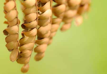 wilting: Un marchitamiento marr�n seca rama ornamental con hojas peque�as