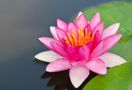 Pink lotus blossoms or water lily flowers blooming on pond in the garden