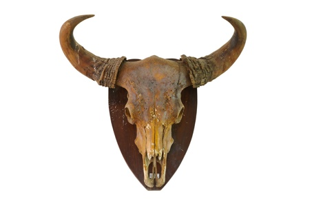 Cow skull on white wall photo