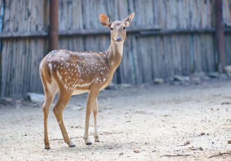 axis deer: Spotted Deer,Axis Deer standing