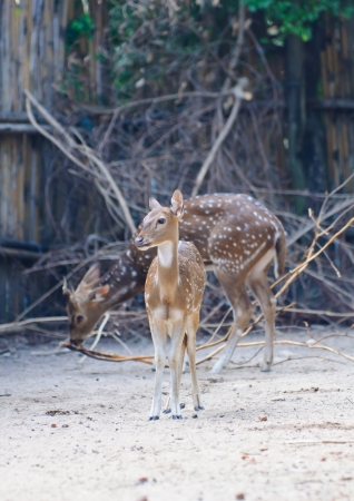 Spotted Deer,Axis Deer standing  photo