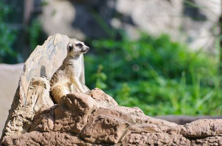 Meerkat sitting on the rock for lookout guard photo