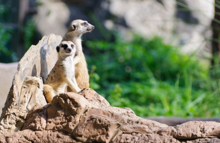 eyes cave: Two Meerkat sitting on the rock for lookout guard