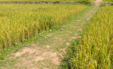 Pathway in rice field in country of Thailand