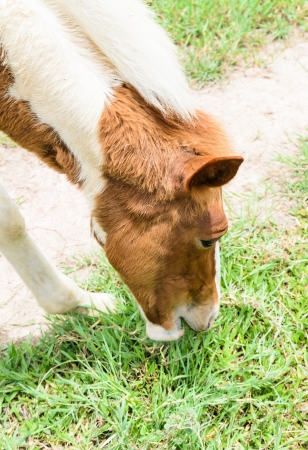 pasturage: Horse eating grass in a lawn