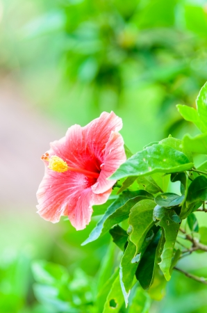 Beautiful red hibiscus flower in the garden photo