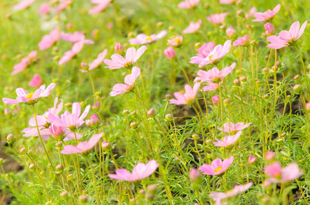 Pink Cosmos Flowers in the garden Stock Photo