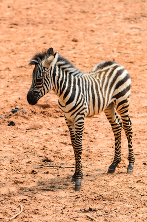 Zebre stand in zoo Stock Photo