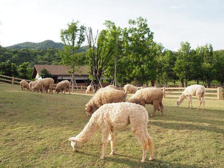 alpaca: Alpaca Farm
