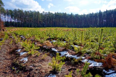 glade: tree seedlings on the forest glade