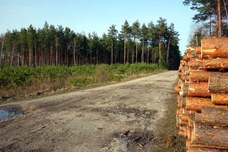 Beautiful forest landscape. Pine logs and seedlings on sides of a dirty sandy way.